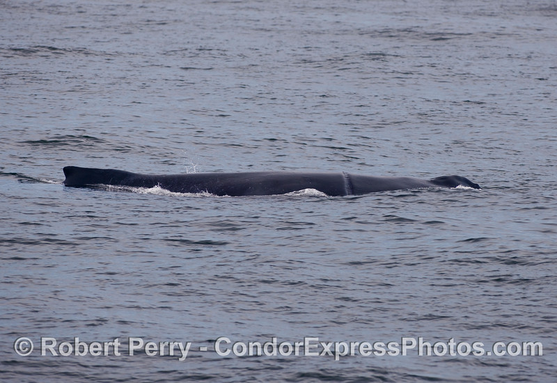 "One last look of the day at the female Humpback Whale (Megaptera novaeangliae) called ""Rope."""