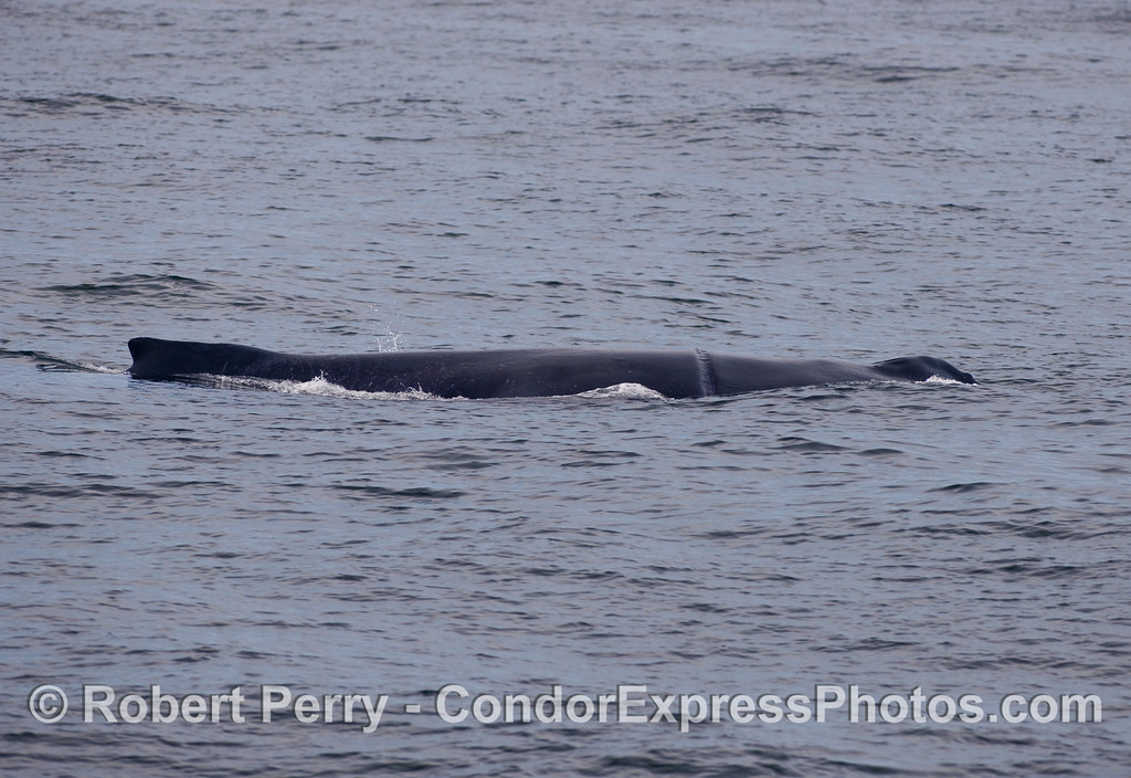 """One last look of the day at the female Humpback Whale (Megaptera novaeangliae) called """"Rope."""""""