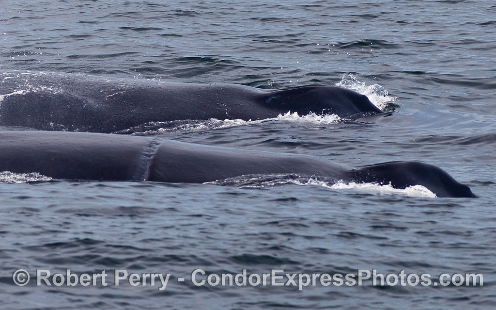 "Two large Humpback Whales (Megaptera novaeangliae) side-by-side.  The closer of the two is ""Rope."""