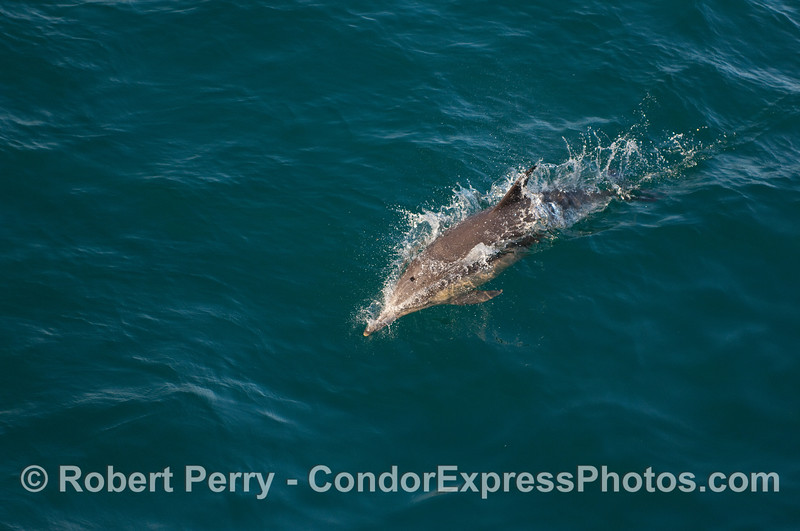 A speedy Common Dolphin (Delphinus capensis) races in to get a look at the Condor Express and its whalers.