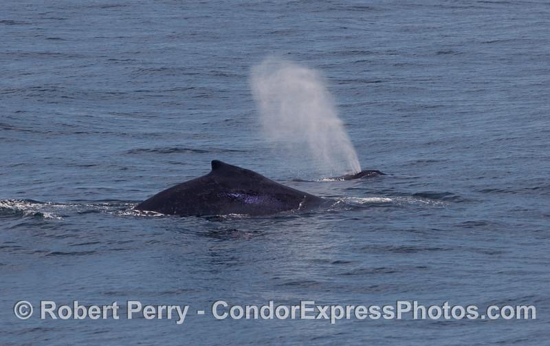 Twice as much Humpback Whale (Megaptera novaeangliae).
