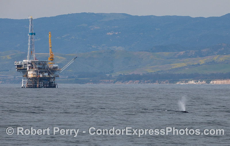 "Oil platform ""Holly"" and a spouting Humpback Whale (Megaptera novaeangliae) near the coast of Santa Barbara."