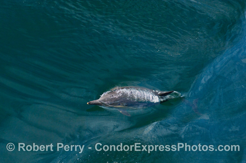 One upwardly mobile Common Dolphin (Delphinus capensis) on a jade ocean.