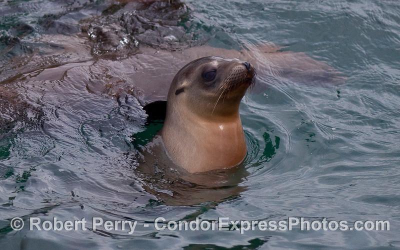 A young California Sea Lion (Zalophus californianus).