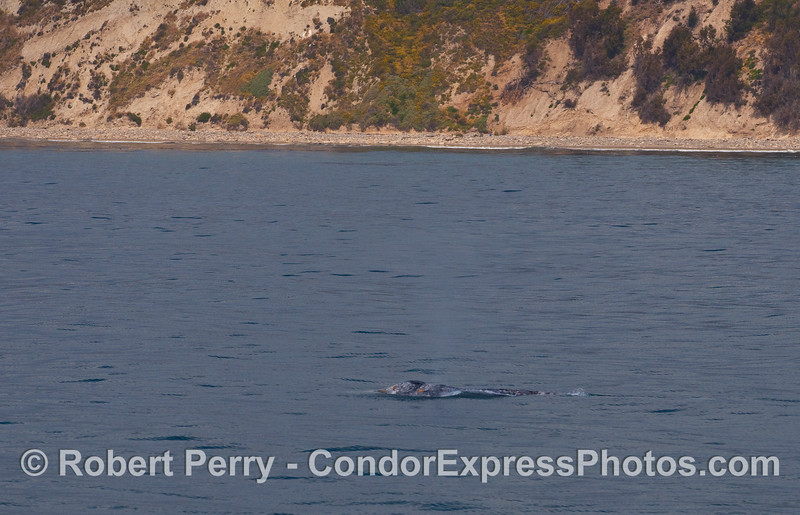 A Gray Whale (Eschrichtius robustus) near the shoreline west of downtown Santa Barbara.