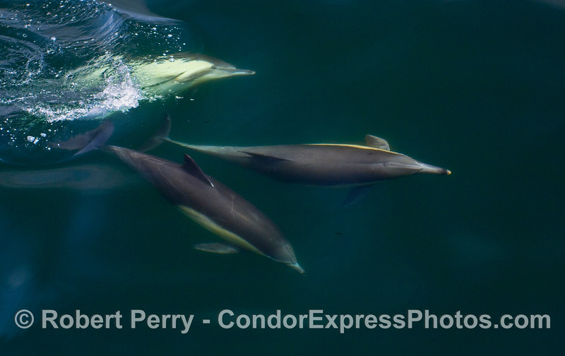 Three Common Dolphins (Delphinus capensis) a various stages of rotation underwater.
