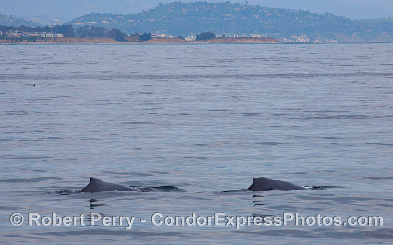 Two Humpback Whales (Megaptera novaeangliae) with the Santa Barbara coast in close proximity.