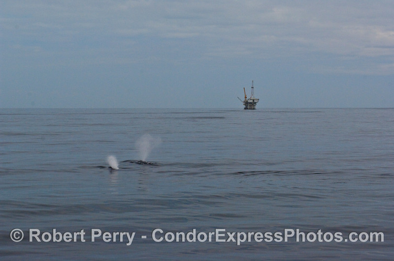 Two Humpback Whales (Megaptera novaeangliae) spout with Platform Holly in the background.  This is the full frame panorama view, the next image is a close cropped version of the same.