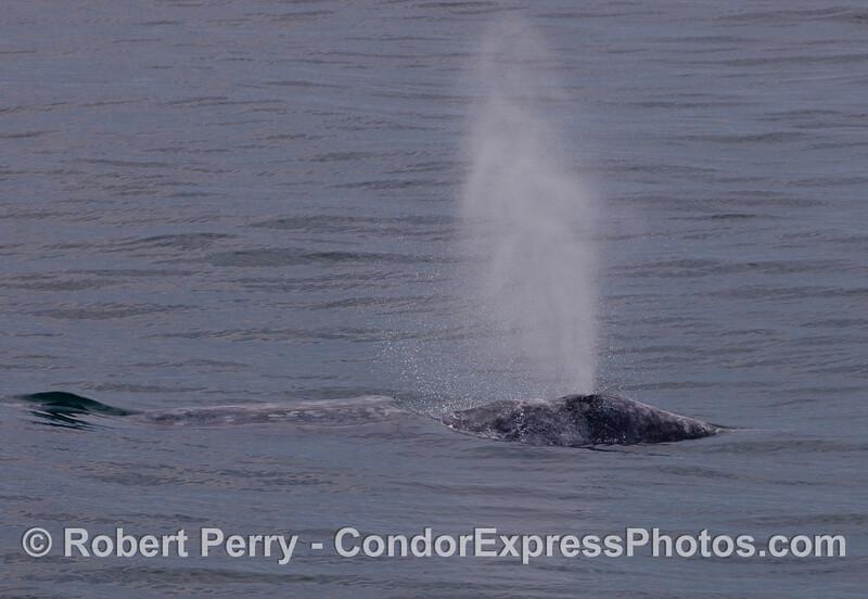 A spouting Gray Whale (Eschrichtius robustus).