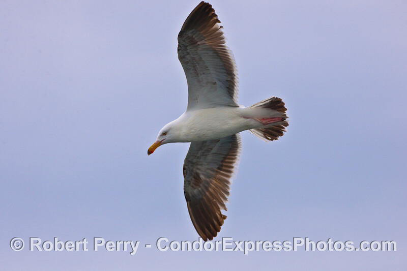 A curious Western Gull (Larus occidentalis).