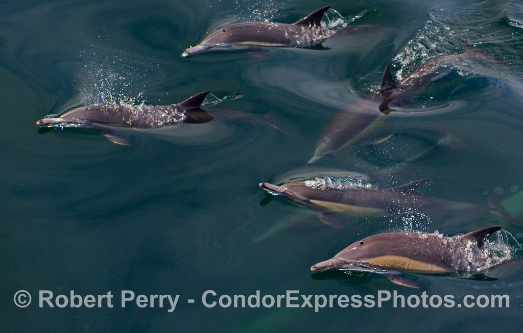 Lots of bubbling Common Dolphins (Delphinus capensis).