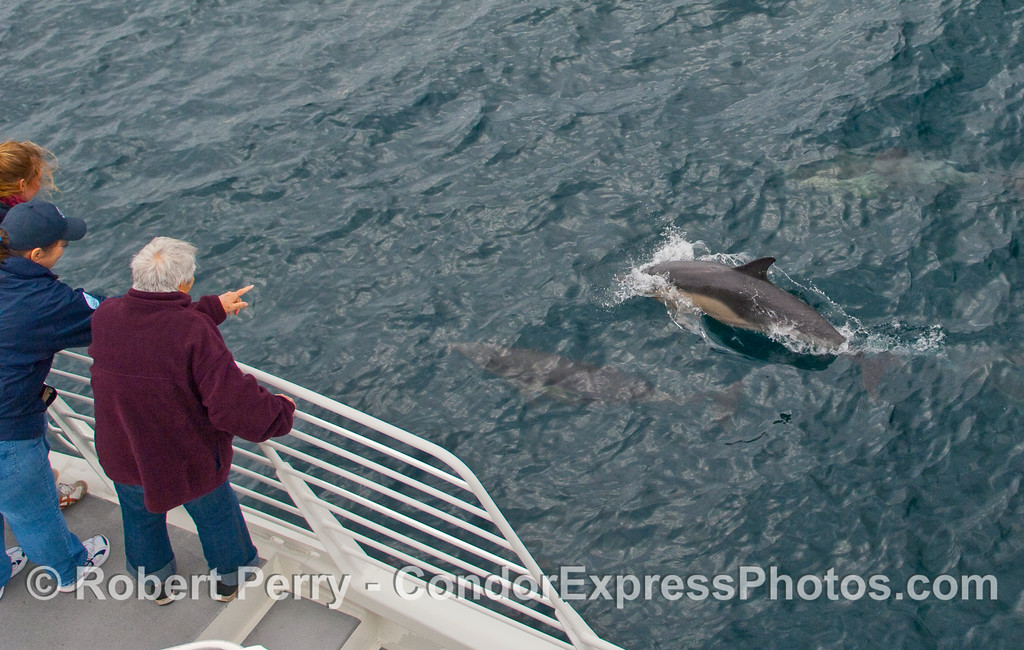 Whalers get a friendly visit by a pod of Common Dolphins (Delphinus capensis).