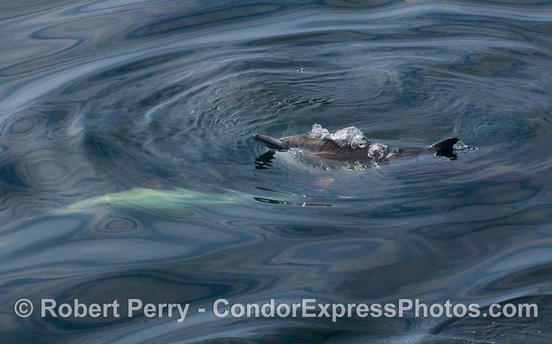 Delphinus capensis on oily surface 2010 04-04 SB Coast - 004