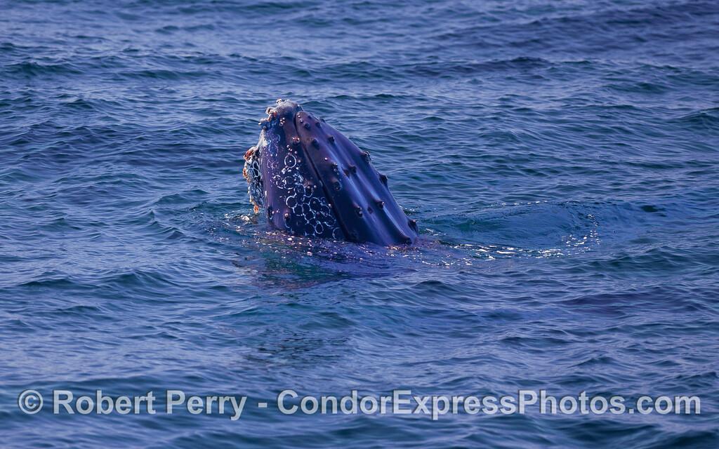 Humpback Whale (Megaptera novaeangliae) spy hopping.