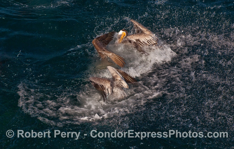 Two hungry Brown Pelicans (Pelecanus occidentalis) have taken a plunge to capture sardines.