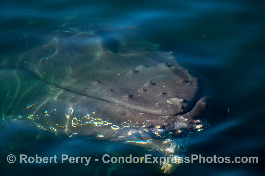 The massive head of a Humpback Whale (Megaptera novaeangliae) passes just beneath the surface of the ocean.