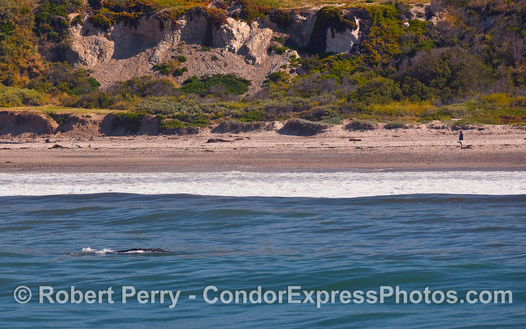 A Gray Whale (Eschrichtius robustus) mother and calf play in the surf zone on their journey north.