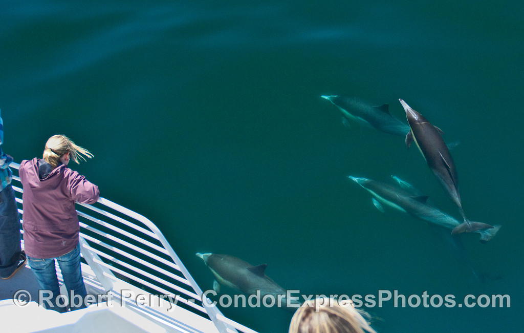 Whalers on board the Condor Express get a great look at some very friendly Common Dolphins (Delphinus capensis).