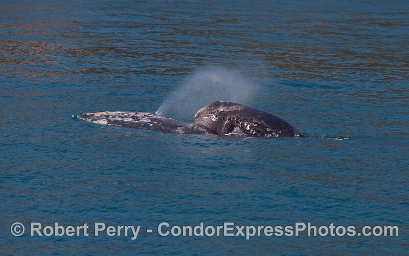 More baby Gray Whale (Eschrichtius robustus) fun and games.  Here we seen junior climbing up on top of Mom's back.
