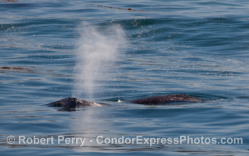 A Gray Whale (Eschrichtius robustus) blows off some steam.