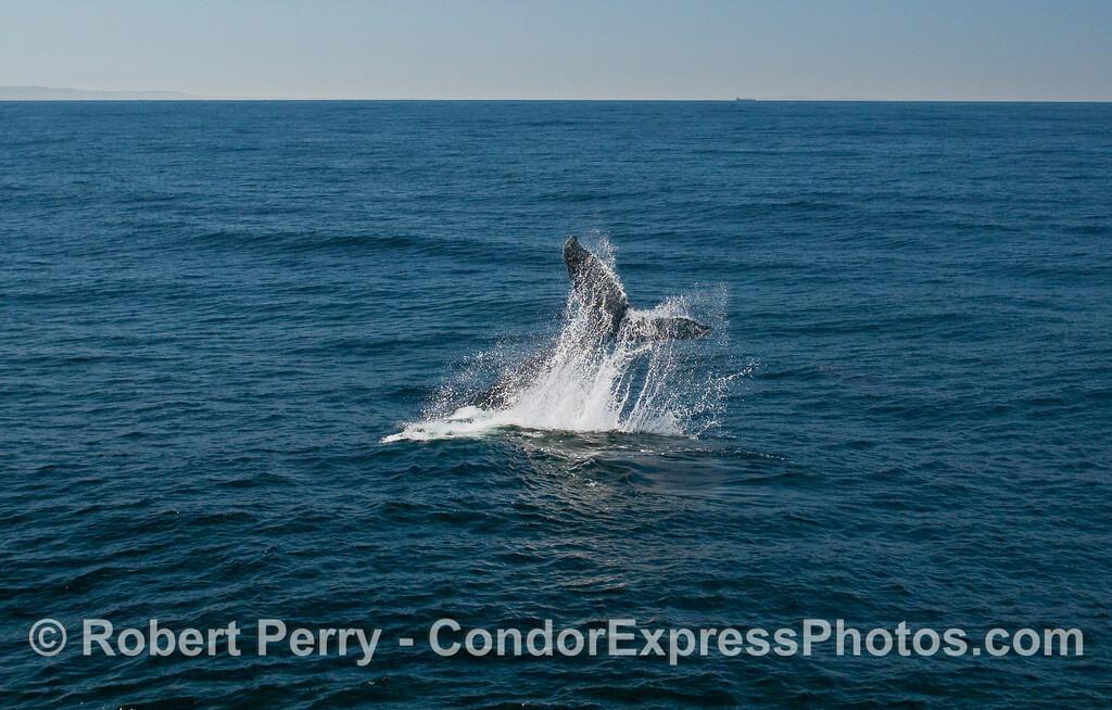 A Humpback Whale (Megaptera novaeangliae) throws its tail around.