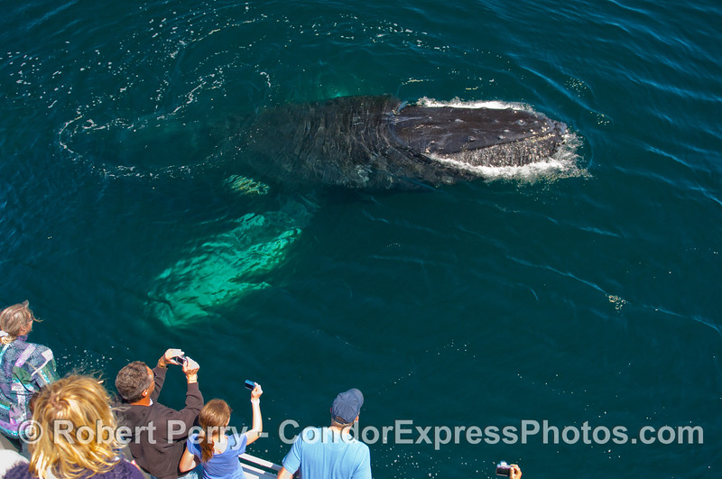 Another very friendly Humpback Whale (Megaptera novaeangliae).
