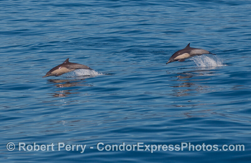 Two Common Dolphins (Delphinus capensis) on the move.