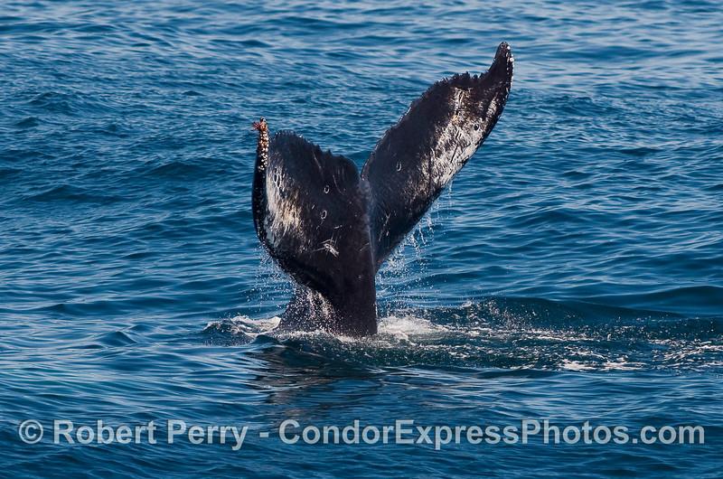 The last glimpse of a Humpback Whale (Megaptera novaeangliae) heading for the deep.