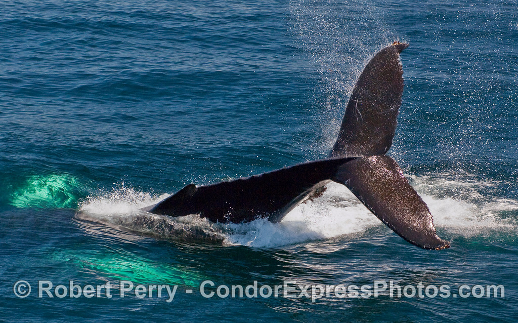 A sequence of photographs showing a Humpback Whale (Megaptera novaeangliae) throwing its tail.  Image 3 of 4.