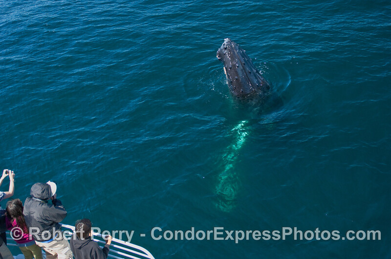 A friendly Humpback Whale (Megaptera novaeangliae) spy hops to the delight of the whalers on board the Condor Express.
