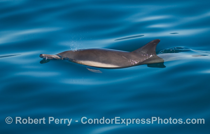 A Common Dolphin (Delphinus capensis) spouting.