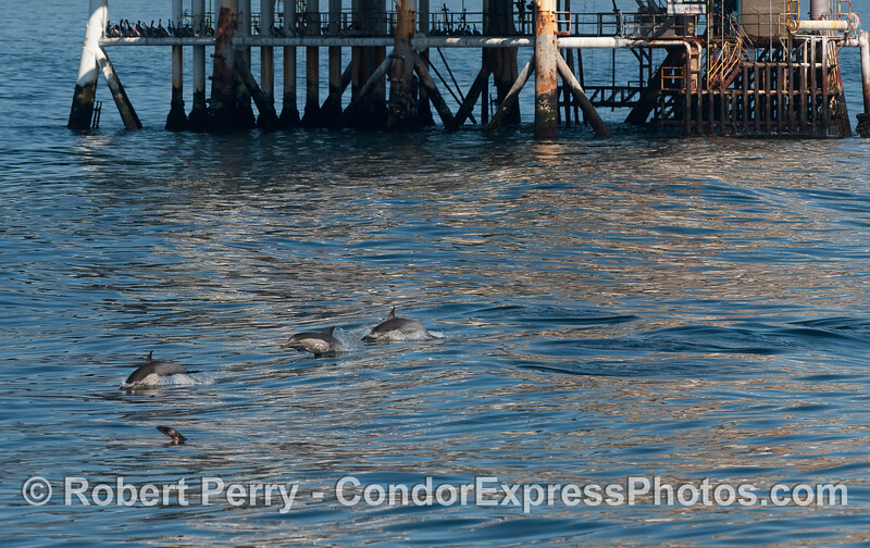 Some Common Dolphin (Delphinus capensis) and a rafting California Sea Lion (Zalophus californianus) very close to oil Platform Holly in the Santa Barbara Channel.