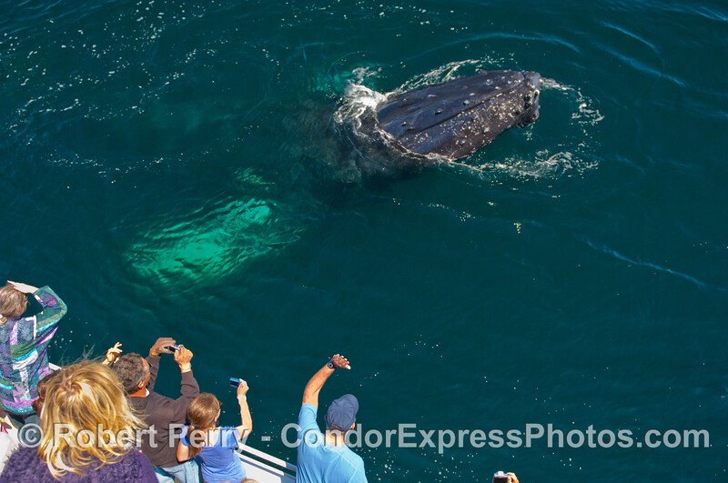 An extremely friendly Humpback Whale (Megaptera novaeangliae) spy hops next to the whalers on board the Condor Express.
