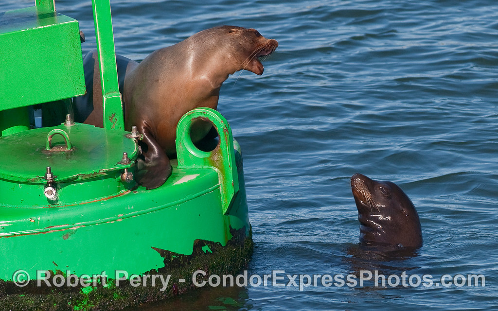 Two California Sea Lions (Zalophus californianus) discuss property rights.