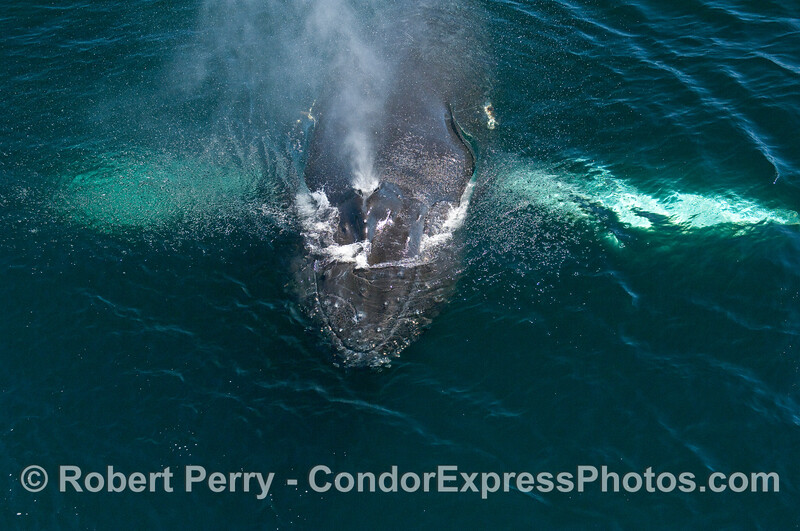 Looking directly down on the spout of a Humpback Whale (Megaptera novaeangliae).