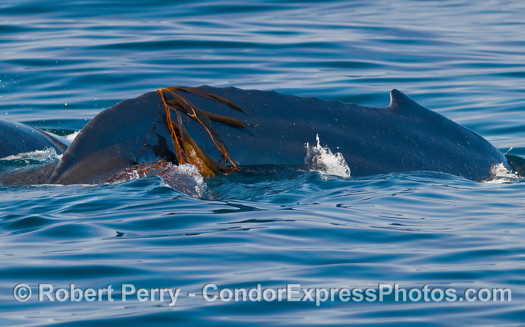 Closer look at a Humpback Whale (Megaptera novaeangliae) with Giant Kelp (Macrocystis pyrifera) draped across its back.