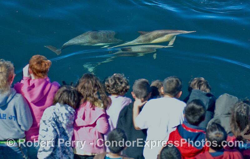 A group of young, elementary school whalers have a close encounter with some Common Dolphins (Delphinus capensis).