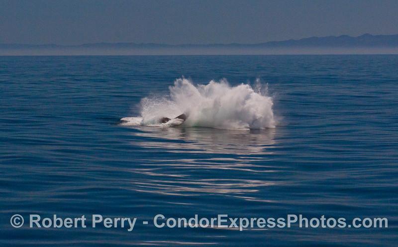 Image 6 of 6:  A Humpback Whale (Megaptera novaeangliae) breaches.