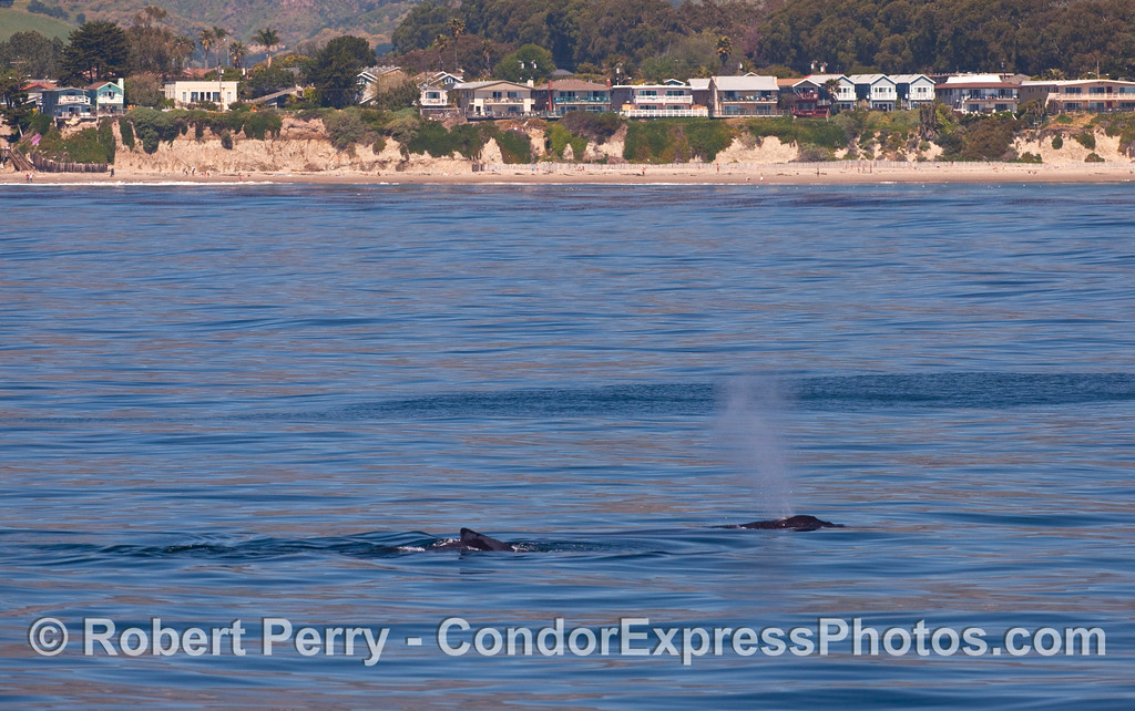 Two Humpback Whales (Megaptera novaeangliae) with Goleta in the background.