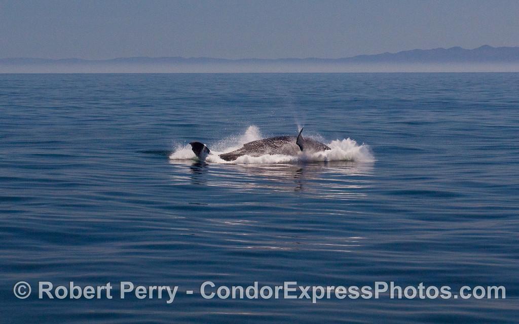 Image 5 of 6:  A Humpback Whale (Megaptera novaeangliae) breaches.