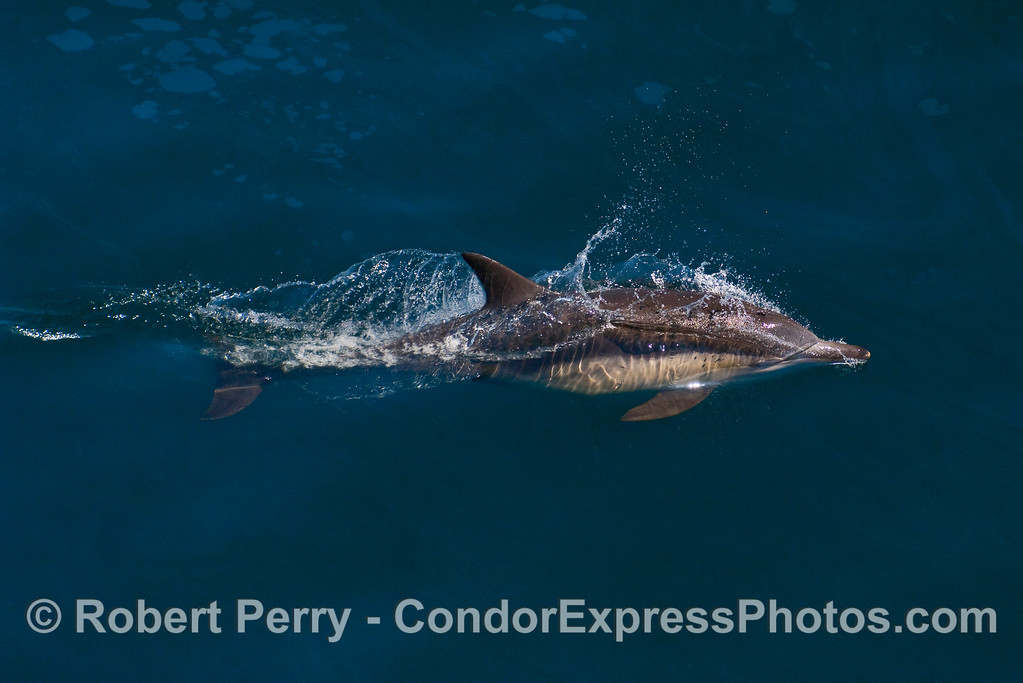 A young Common Dolphin (Delphinus capensis).