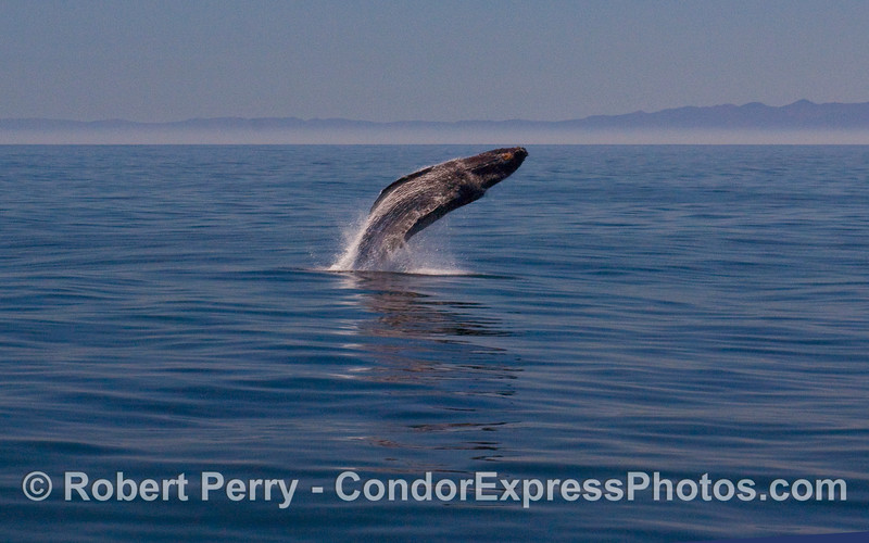 Image 1 of 6:  A Humpback Whale (Megaptera novaeangliae) breaches.