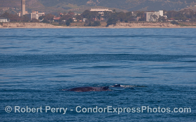 Two Humpback Whales (Megaptera novaeangliae) with UCSB in the background.