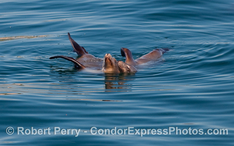 Two California Sea Lions (Zalophus californianus) rafting together on the open ocean.