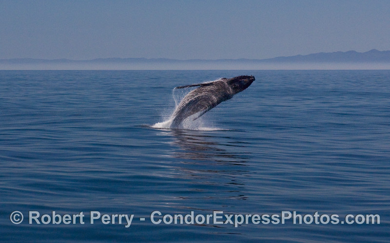 Image 2 of 6:  A Humpback Whale (Megaptera novaeangliae) breaches.