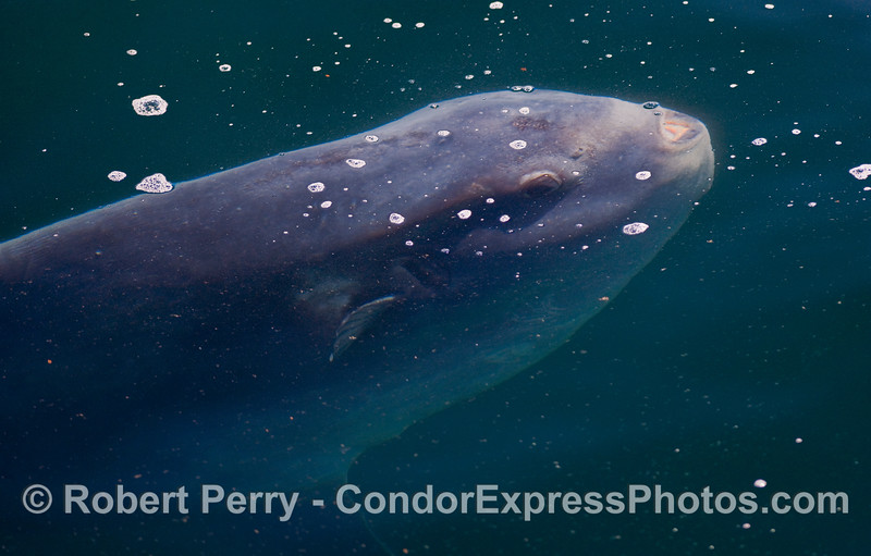 Head of a huge Ocean Sunfish (Mola mola) hanging just beneath the surface.