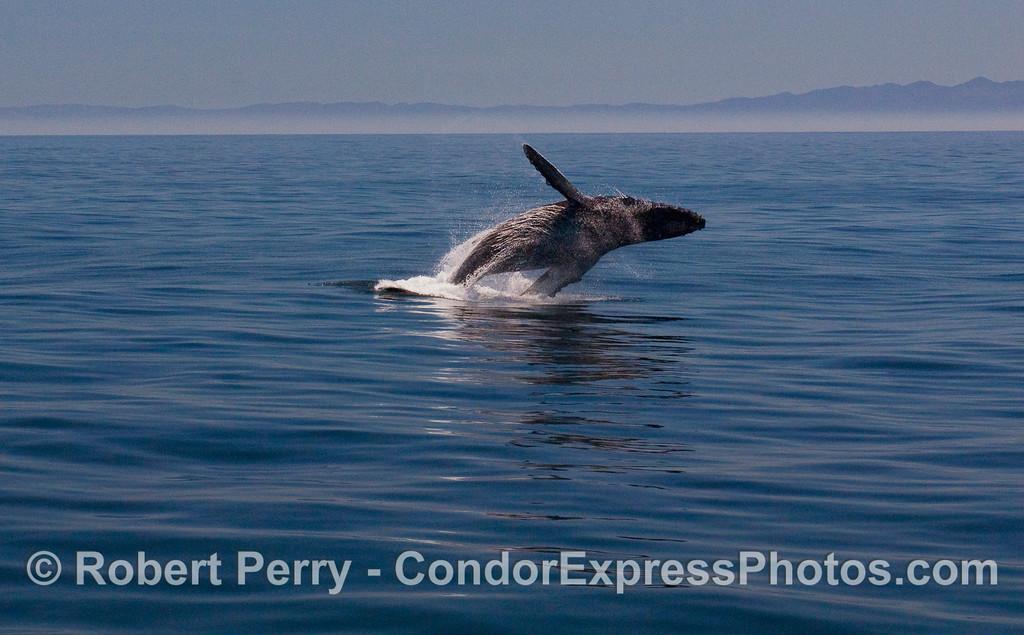 Image 3 of 6:  A Humpback Whale (Megaptera novaeangliae) breaches.