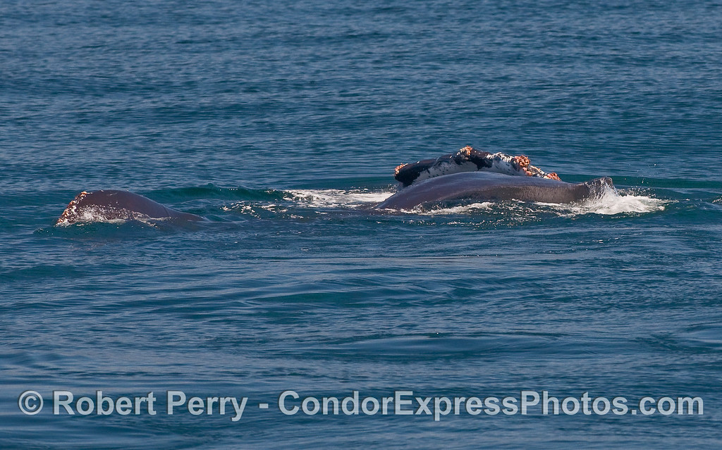 A Humpback Whale (Megaptera novaeangliae) rolls around.