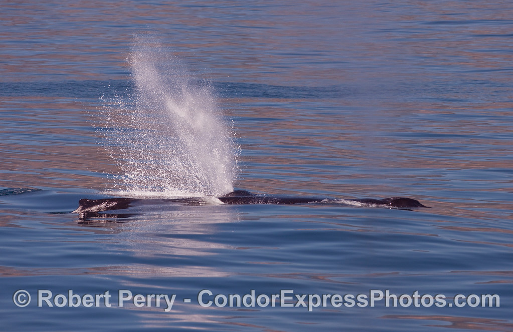 Two Humpback Whales (Megaptera novaeangliae), one with a bushy spout.