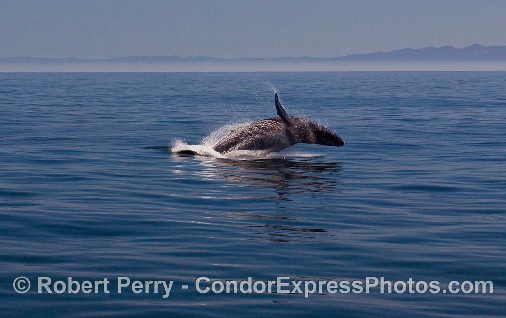 Image 4 of 6:  A Humpback Whale (Megaptera novaeangliae) breaches.